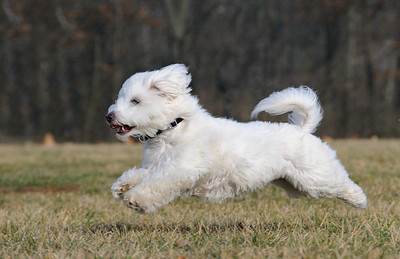 Dog in Flight  This is my Spencer.  He's a Coton de Tulear.